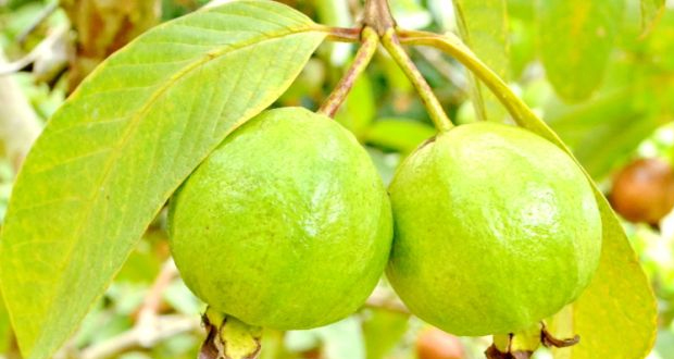 Guava in Yercaud