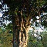 Ebony Tree Yercaud