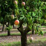 Mango Tree Yercaud