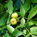 Pignut Tree Yercaud