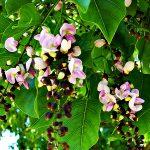 Pongamia Tree