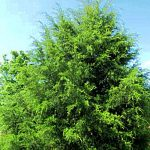 Red Cedar Tree Yercaud