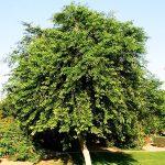 Rosewood Tree Yercaud