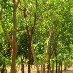Sandal wood tree