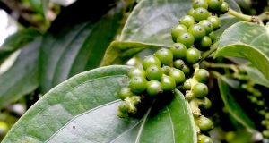 Yercaud pepper