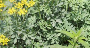 Arvada Medicinal plants in yercaud