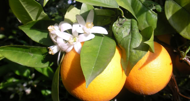 Oranges in yercaud